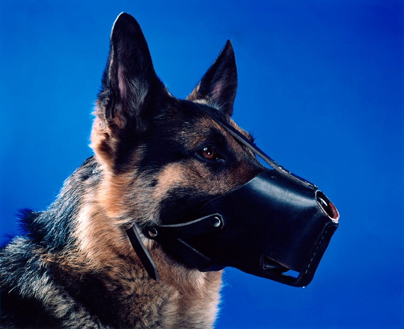 A Dog with a Muzzle on Blue Background, 2004